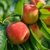 How To Select and Store Peaches