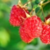 How to Select and Store Raspberries