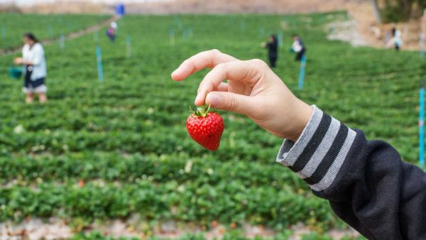 How to select and store strawberries