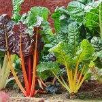 How to Select and Store Swiss Chard