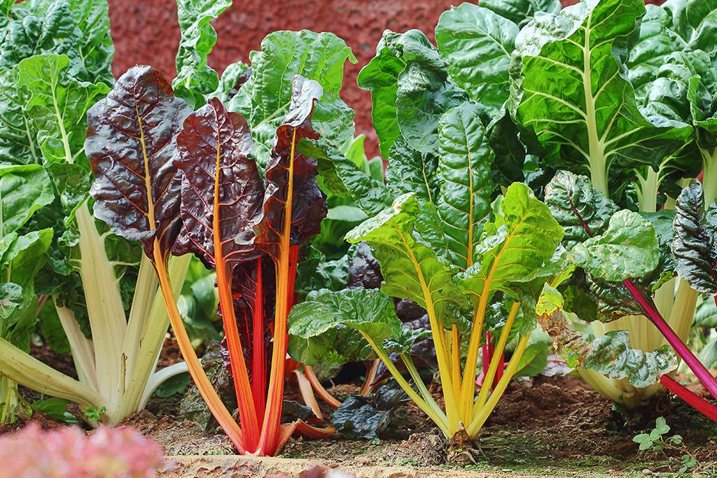 how to grow swiss chard microgreens