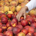 Nectarine Tips