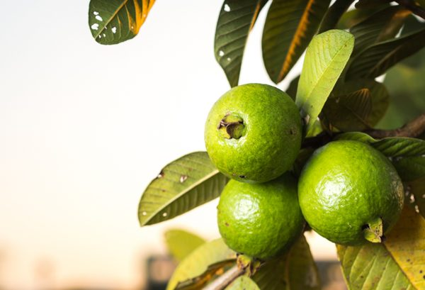 How to select and store guava