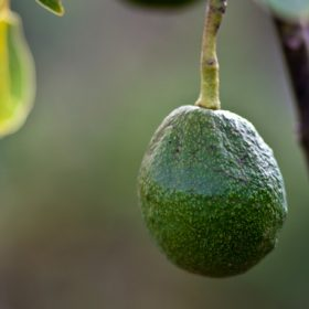 How to Select and Store Avocado