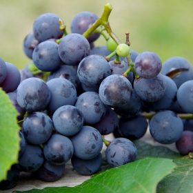 Grapes Nutrition