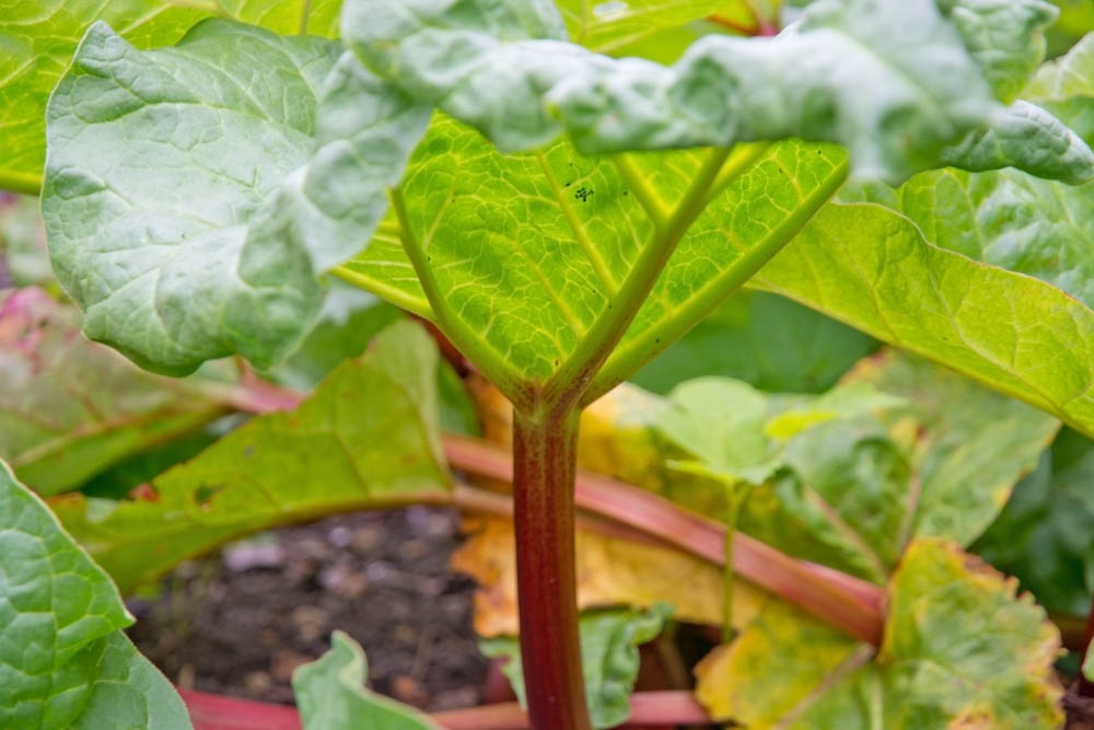 How To Select and Store Rhubarb