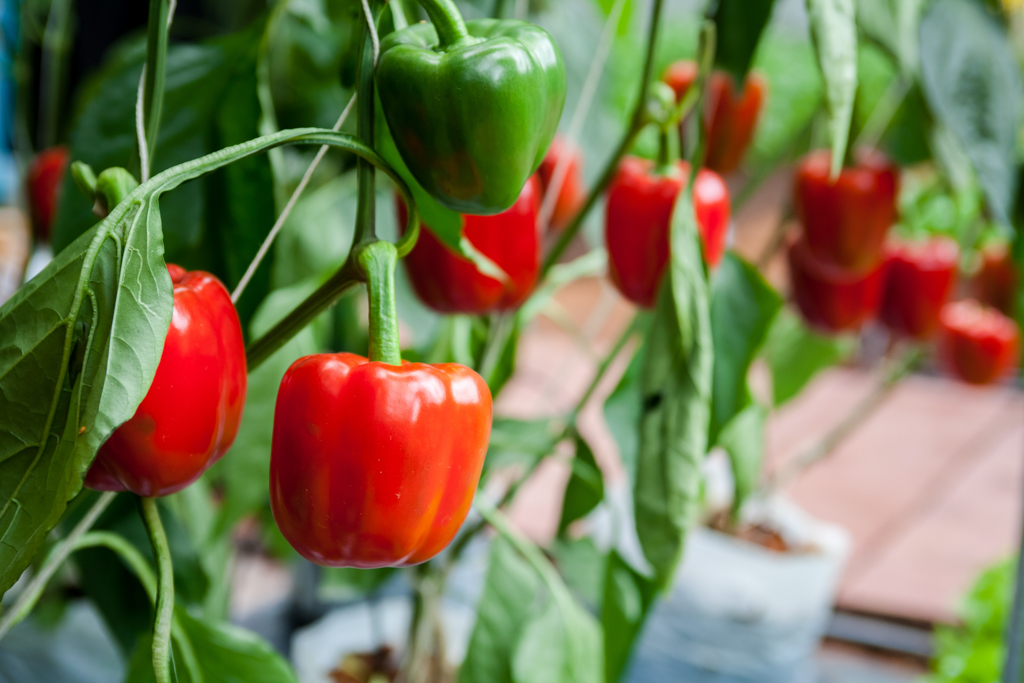 Greenhouse Red Peppers