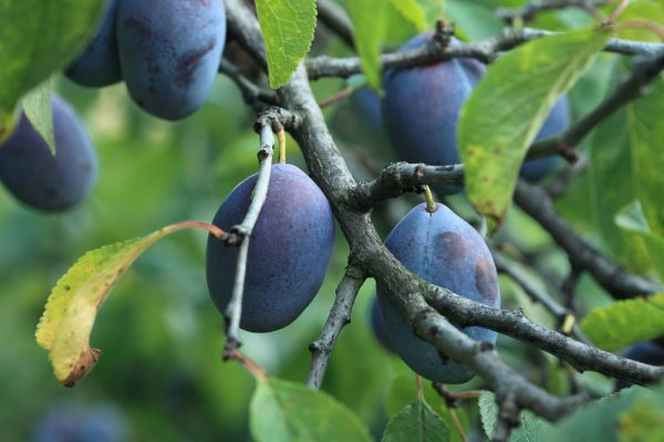 How to Select and Store Plum