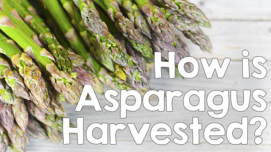 How is Asparagus Harvested?