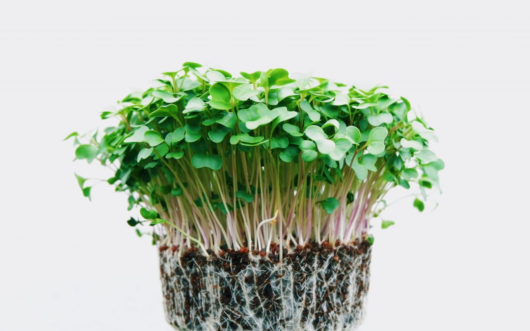 Microgreens are Sprouting Up Everywhere!