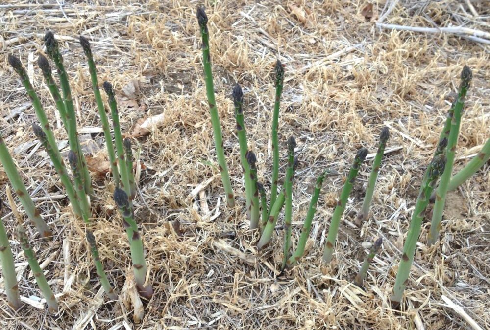 Ask the Expert: How does Asparagus Grow?